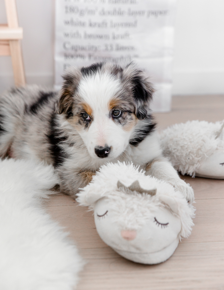 On A Adopte Un Border Collie Amelie Tauziede